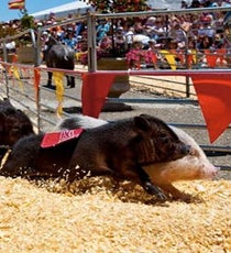 Pig Race At Marin County Fair