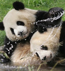 pandaOP