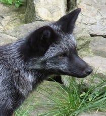 foxopener