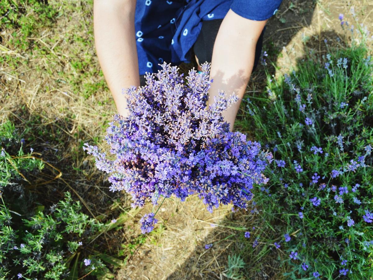 Natürliches Heilmittel: Können Lavendelöle und -sprays Ängste lindern?