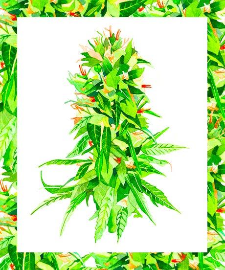 Cannabis_Bud_Opener_Marcel_George