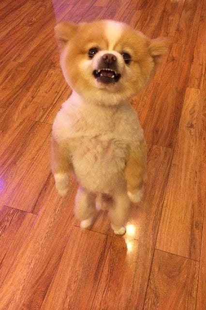 Shaved Pomeranian Images Cute Puppy Pictures