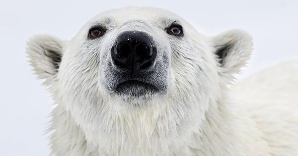 skinny polar bear photo global warming ice melt