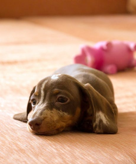 Watch A Tiny Dachshund Tucker Himself Out