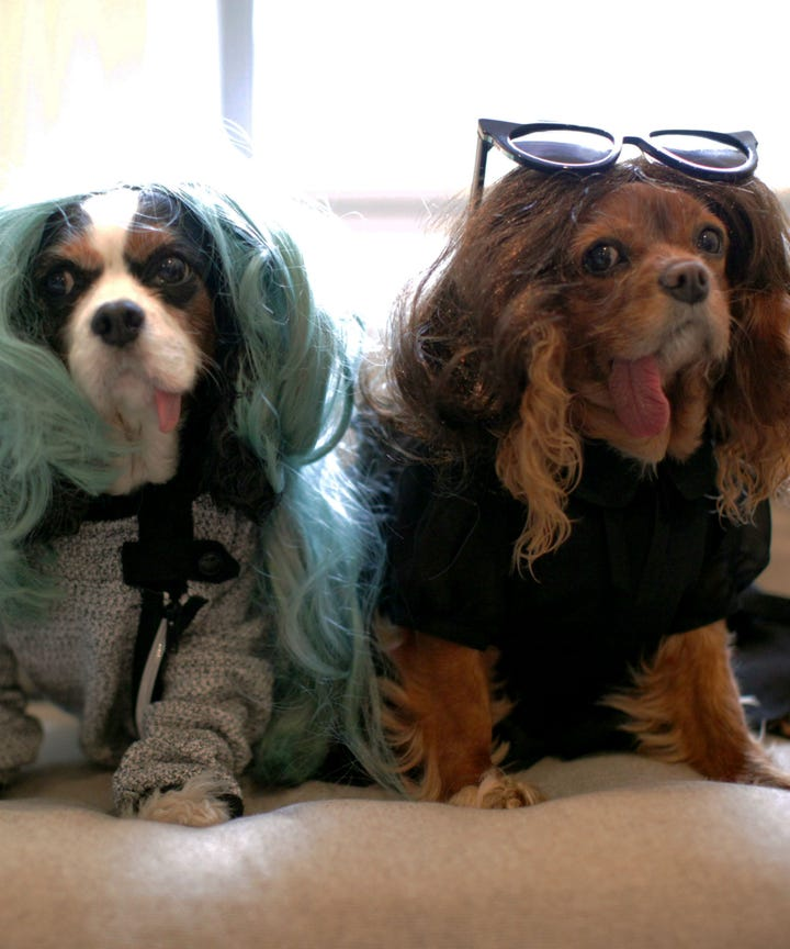 Top Cavalier Canine Adorable Dog - image  Graphic_642917  .jpg