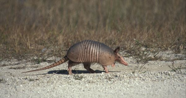 Man Tries To Shoot Armadillo, Ends Up Shooting Himself